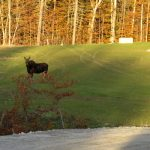 photo of a moose at the oakfield wind project