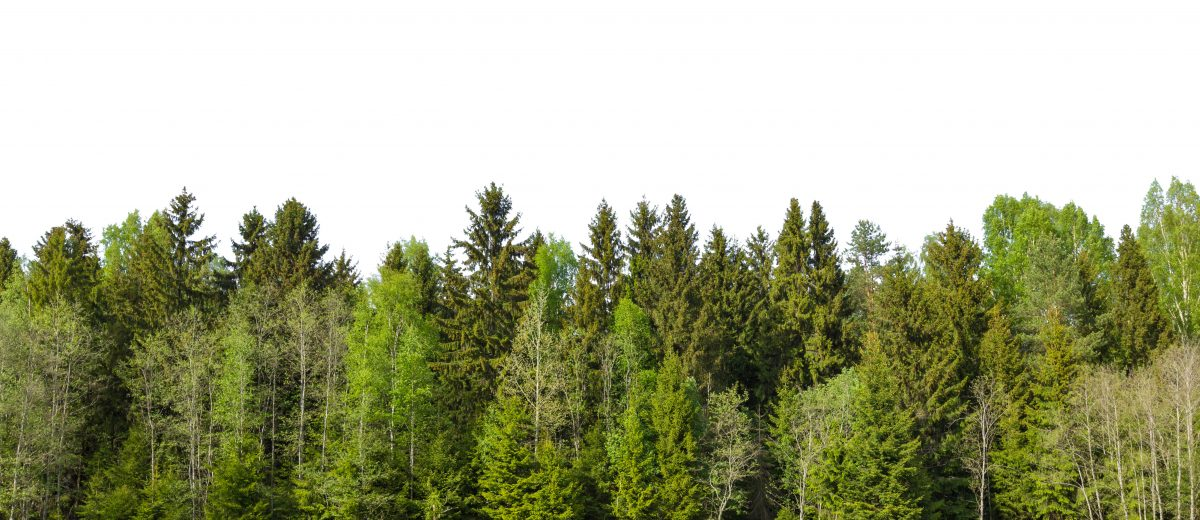 The edge of a forest with deciduous and coniferous trees, natural background.